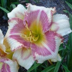 Photo of Daylily (Hemerocallis 'Dr Jules Michael Vinkman')