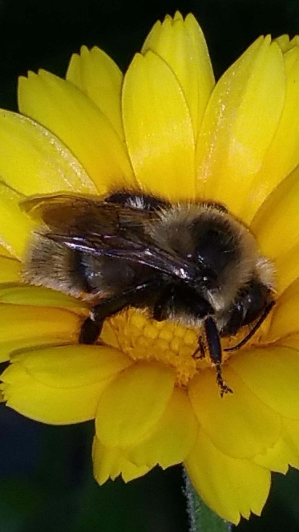 Recovery Bringing Back Bumble Bees Garden Org