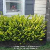 Location: JBsPlants at Roblyn Farm, New JerseyDate: 2016-07-29Vicary outside workshop not trimmed.