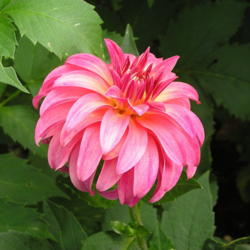 Photo of Dahlia (Dahlia 'Ms Prissy')