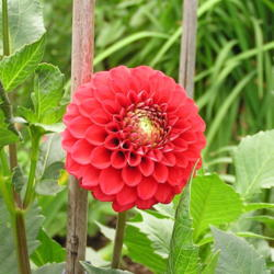 Photo of Dahlia (Dahlia 'Rock Run Mae')