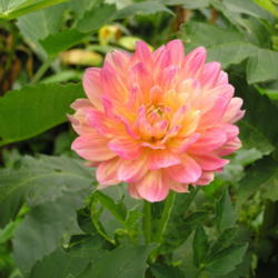 Photo of Dahlia (Dahlia 'Hollyhill Monet')