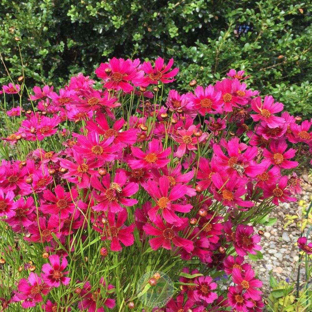 Photo of Hybrid tickseed (Coreopsis Hardy Jewel™ Garnet) uploaded by Patty