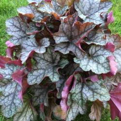 Photo of Coral Bells (Heuchera 'Carnival Silver Streak')