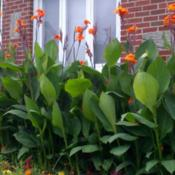 Location: Northern NJDate: 2016-07-31 Beautiful cannas!