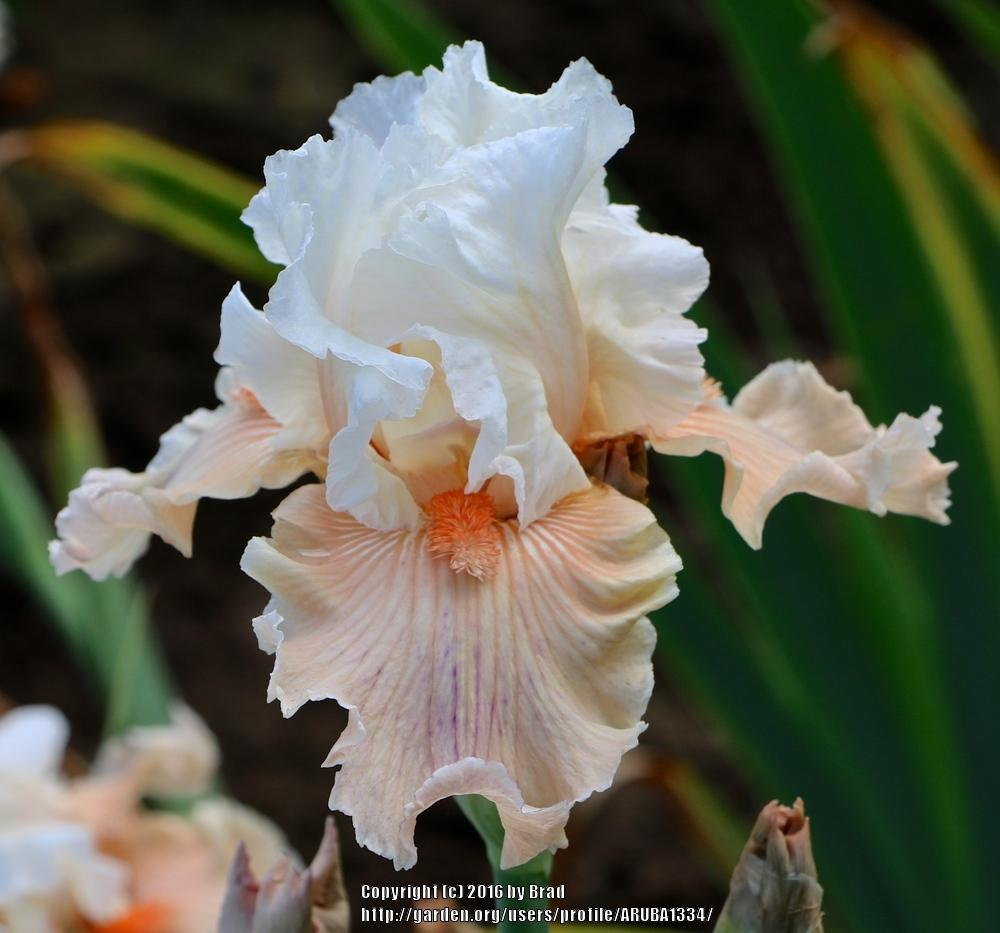 Photo of Tall Bearded Iris (Iris 'All About Me') uploaded by ARUBA1334