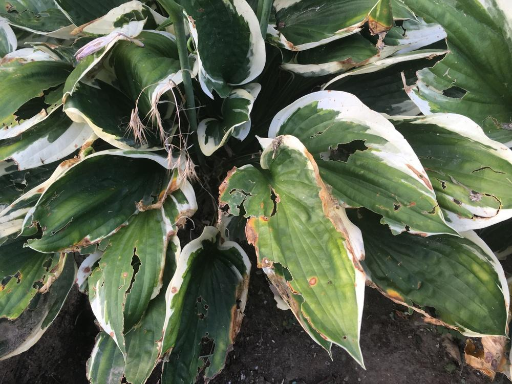 Ask A Question Forum Help Something Is Killing My Hostas Gardenorg