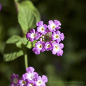 Location: Central TexasDate: 2016-08-02Lavender Trailing Lantana