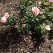 Location: My garden, Pequea, PA 17565Date: 2016-08-03Own-root rose planted spring, 2016; wonderful fragrance