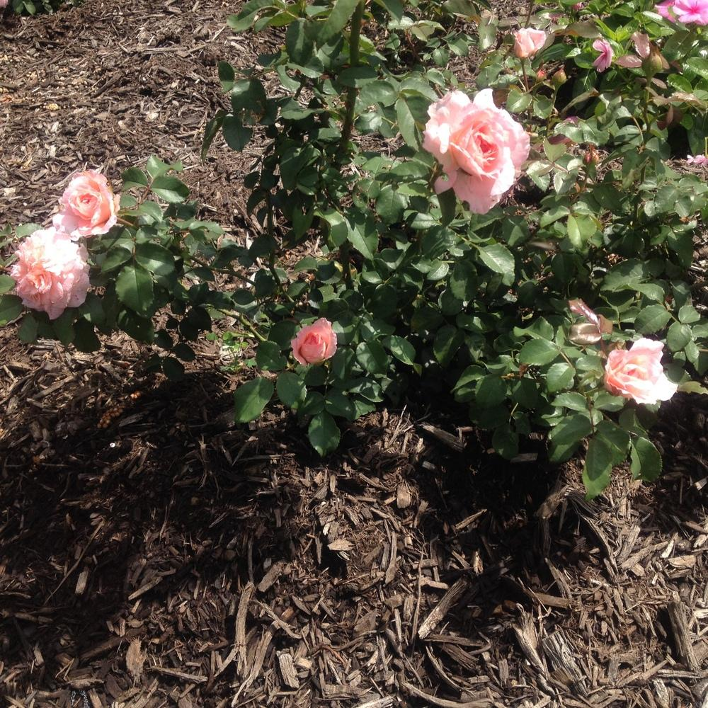 Photo of Rose (Rosa 'Savannah') uploaded by csandt