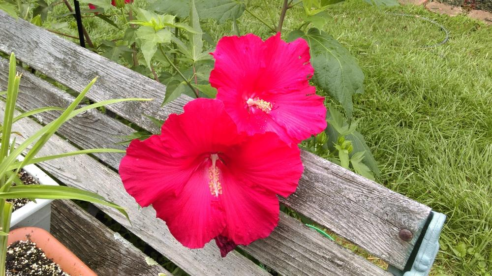 Photo of Hybrid Hardy Hibiscus (Hibiscus 'Lord Baltimore') uploaded by mystlw
