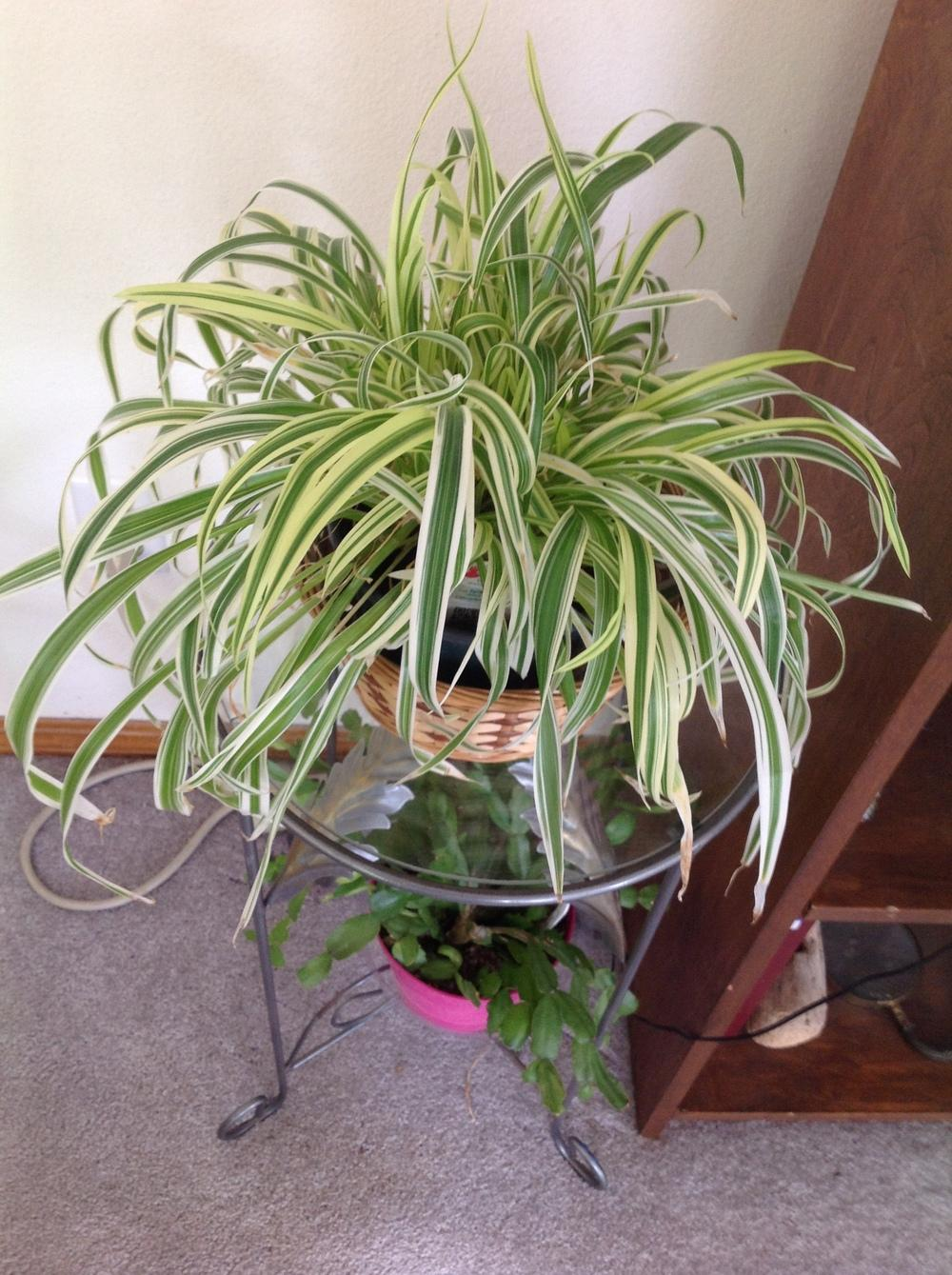 Houseplants Forum Growing Spider Plants From Babies With No Roots Garden Org