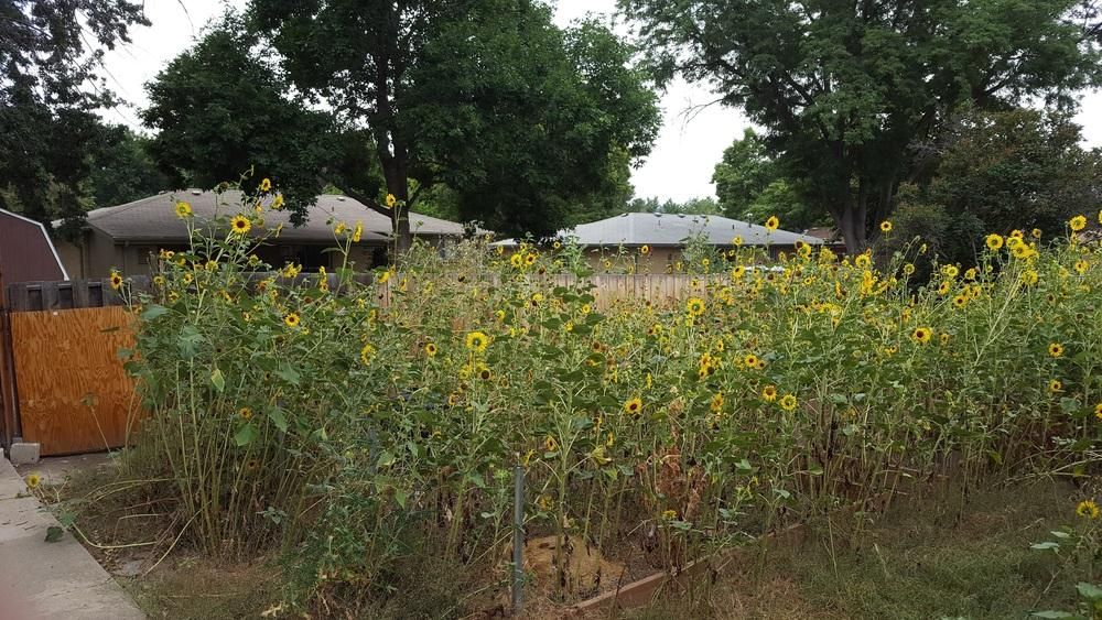 Ask A Question Forum Lawn Overrun With Sunflowers How To