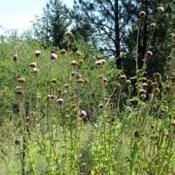 Location: Rock Creek, BCDate: 2016-07-29Going to seed in the wild