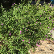 Location: Central TexasDate: 2016-07-31This is a good plant for rock gardens