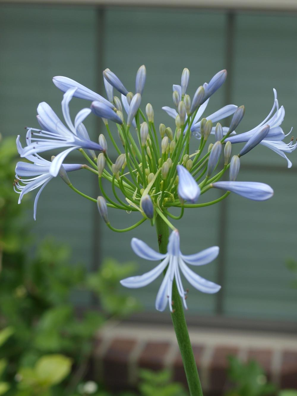 Photo of the bloom of lily of the nile agapanthus posted by photo of lily of the nile agapanthus uploaded by honeyx4 izmirmasajfo