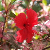 Location: zone 9Date: 2015-06-14varigated hibiscus