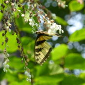 Location: Branchland, WVDate: 2016-07-27This Tiger Swallowtail was really enjoying the nectar!