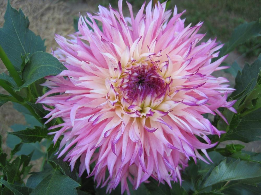 Photo of Dahlia 'Pinelands Princess' uploaded by psudan