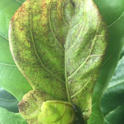 Ask A Question Forum Why New Fiddle Leaf Tree Leaves Coming Out