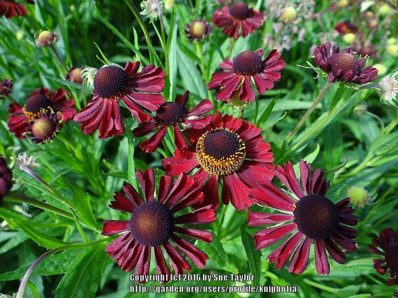Plant Id Forum Dark Red Helenium Garden Org
