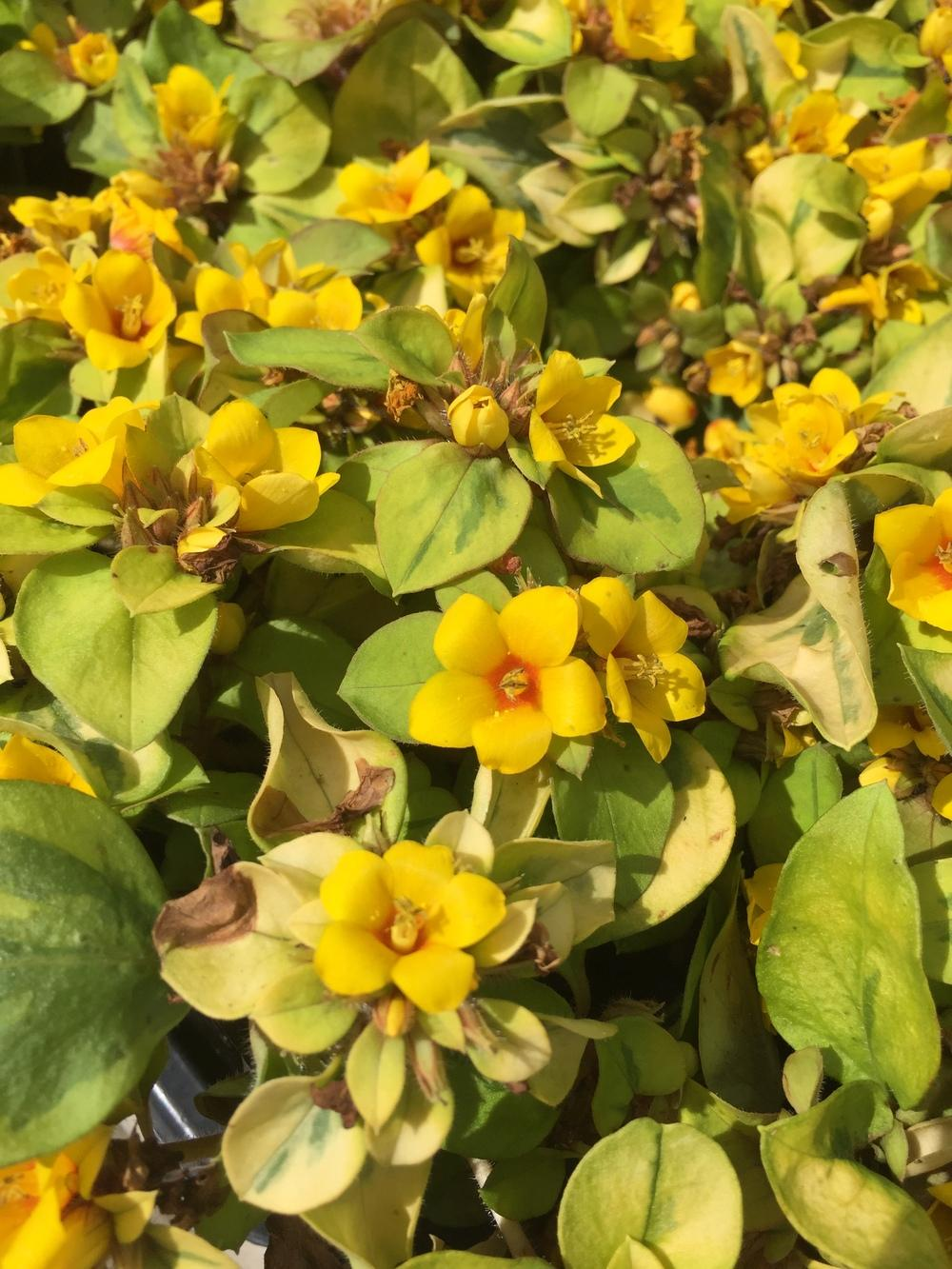 Photo of Dense-Flowered Loosestrife (Lysimachia congestiflora Walkabout Sunset®) uploaded by SpringGreenThumb