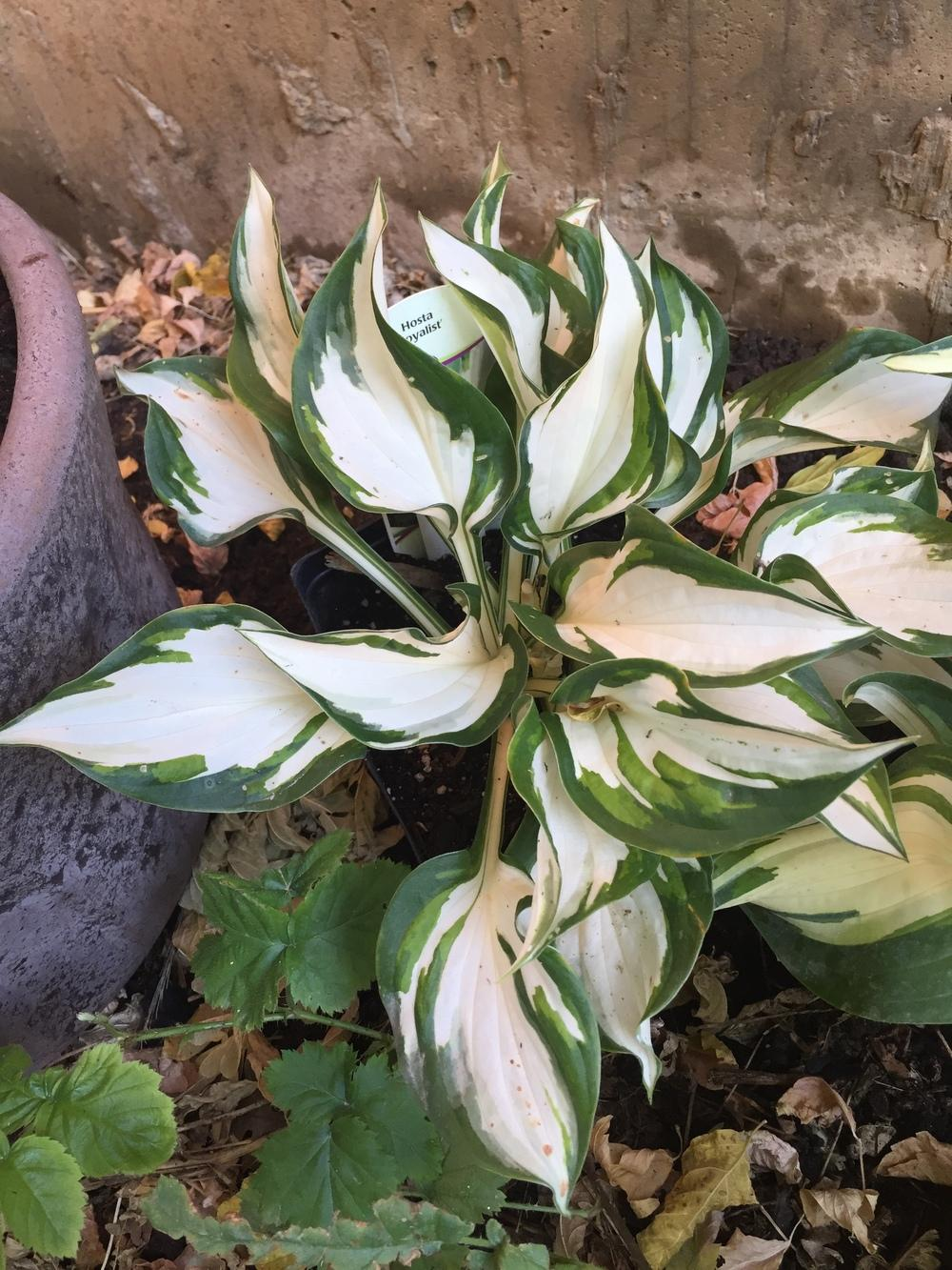 Photo of Hosta 'Loyalist' uploaded by SpringGreenThumb