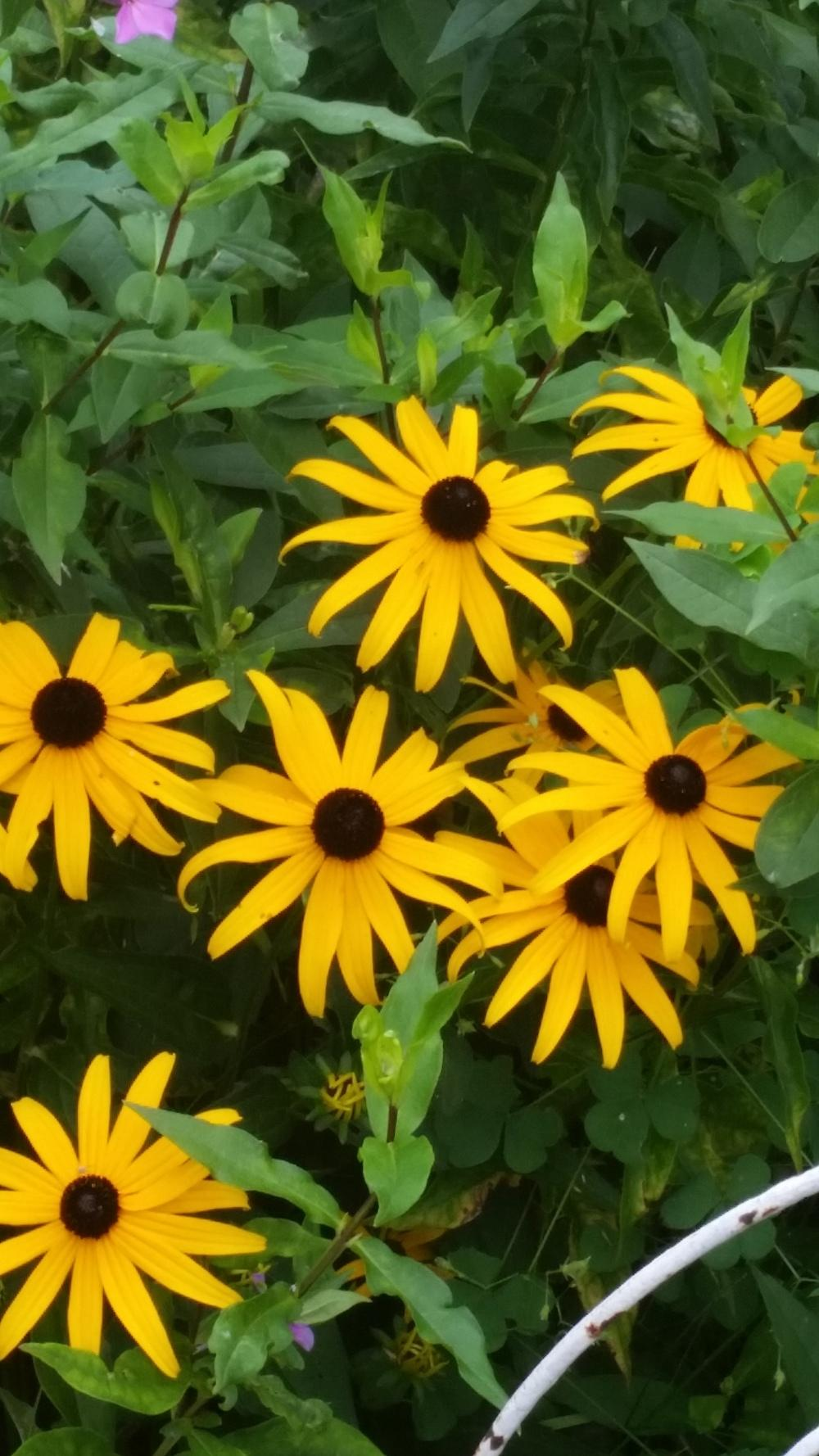 Photo of Black Eyed Susans (Rudbeckia) uploaded by nicodiangel_no