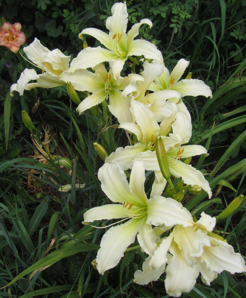 Photo of Daylily (Hemerocallis 'Heavenly Angel Ice') uploaded by Charlemagne