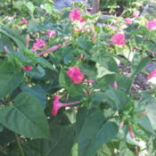 Location: My backyardDate: 2013-05-15Mirabilis Jalapa pink