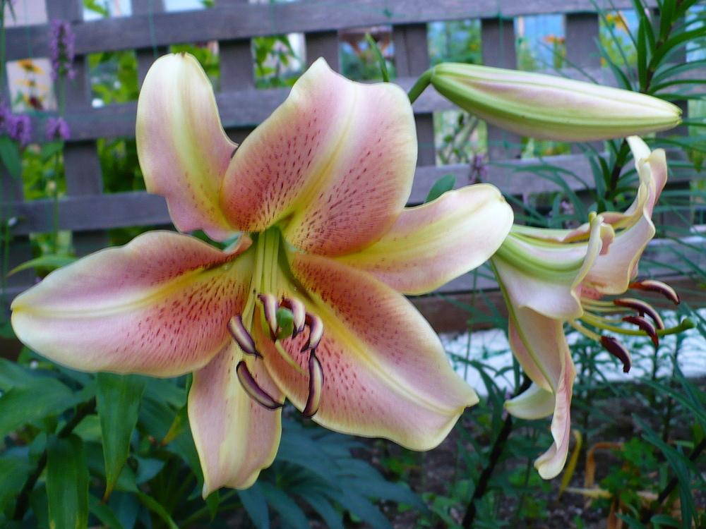 Photo of Lily (Lilium 'Red Hot') uploaded by HemNorth