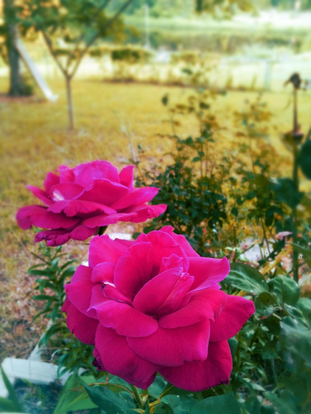Photo of Roses (Rosa) uploaded by JamesAcclaims