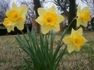 Photo of Daffodils (Narcissus) uploaded by JamesAcclaims