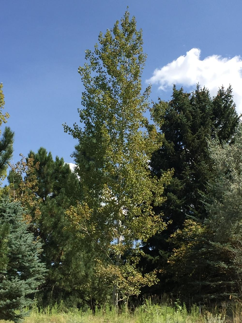 Photo of Quaking Aspen (Populus tremuloides) uploaded by SpringGreenThumb