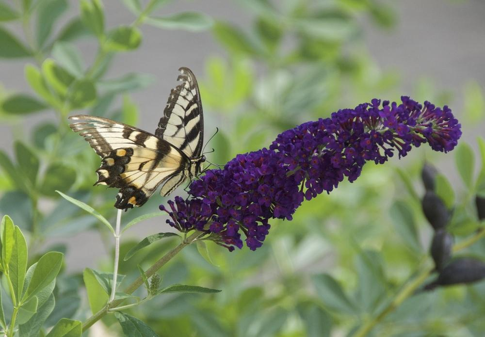 Butterfly Bush bloom