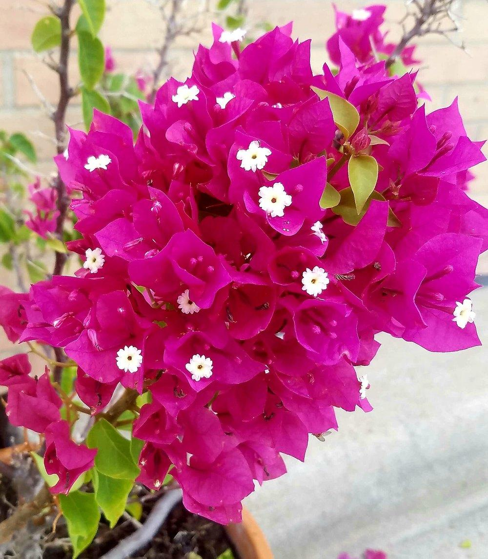 Photo of Bougainvilleas (Bougainvillea) uploaded by JamesAcclaims