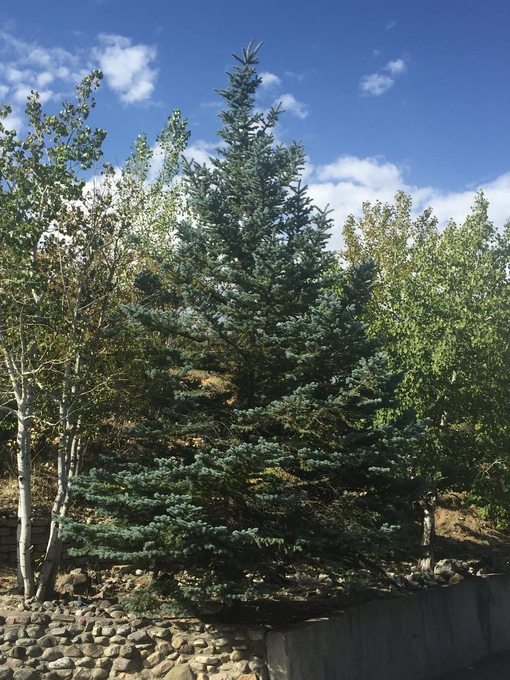 Photo of Blue Spruce (Picea pungens 'Walnut Glen') uploaded by SpringGreenThumb