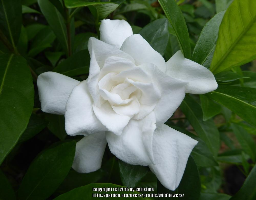 gardenias plant care and collection of varieties  garden, Natural flower