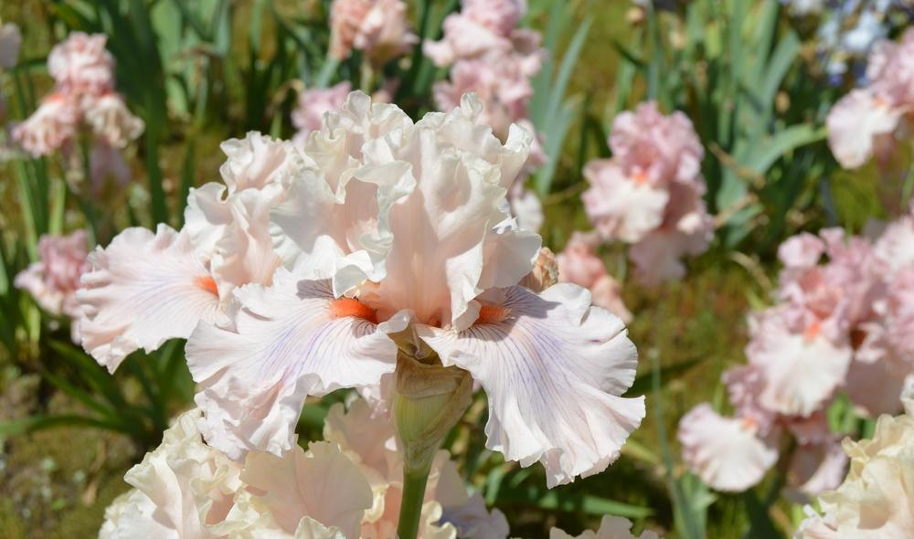 Photo of Tall Bearded Iris (Iris 'Are We in Love') uploaded by KentPfeiffer