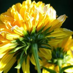 Photo of Double thin-leaved Sunflower (Helianthus x multiflorus 'Loddon Gold')