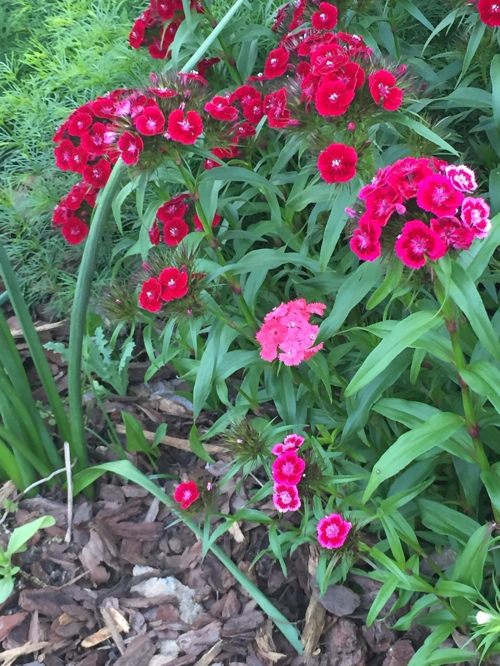 Photo of Sweet William (Dianthus barbatus) uploaded by SCButtercup