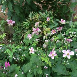 Photo of Japanese Anemone (Anemone hupehensis var. japonica  'Robustissima')