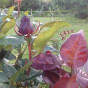 Location: Chuelles, FranceDate: 2013-06-02New leaves are a lovely deep red on this repeat bloomer