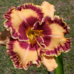 Photo of Daylily (Hemerocallis 'Spicy Connection')