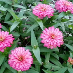 Photo of Zinnia (Zinnia Zahara™ Double Salmon Rose)