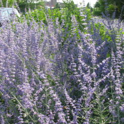 Photo of Lavenders (Lavandula)