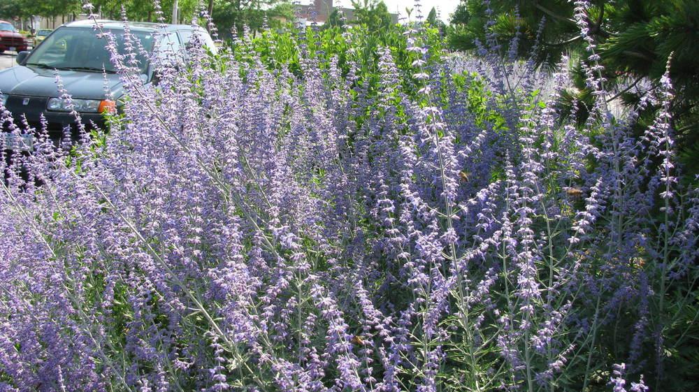 Photo of Lavenders (Lavandula) uploaded by jmorth
