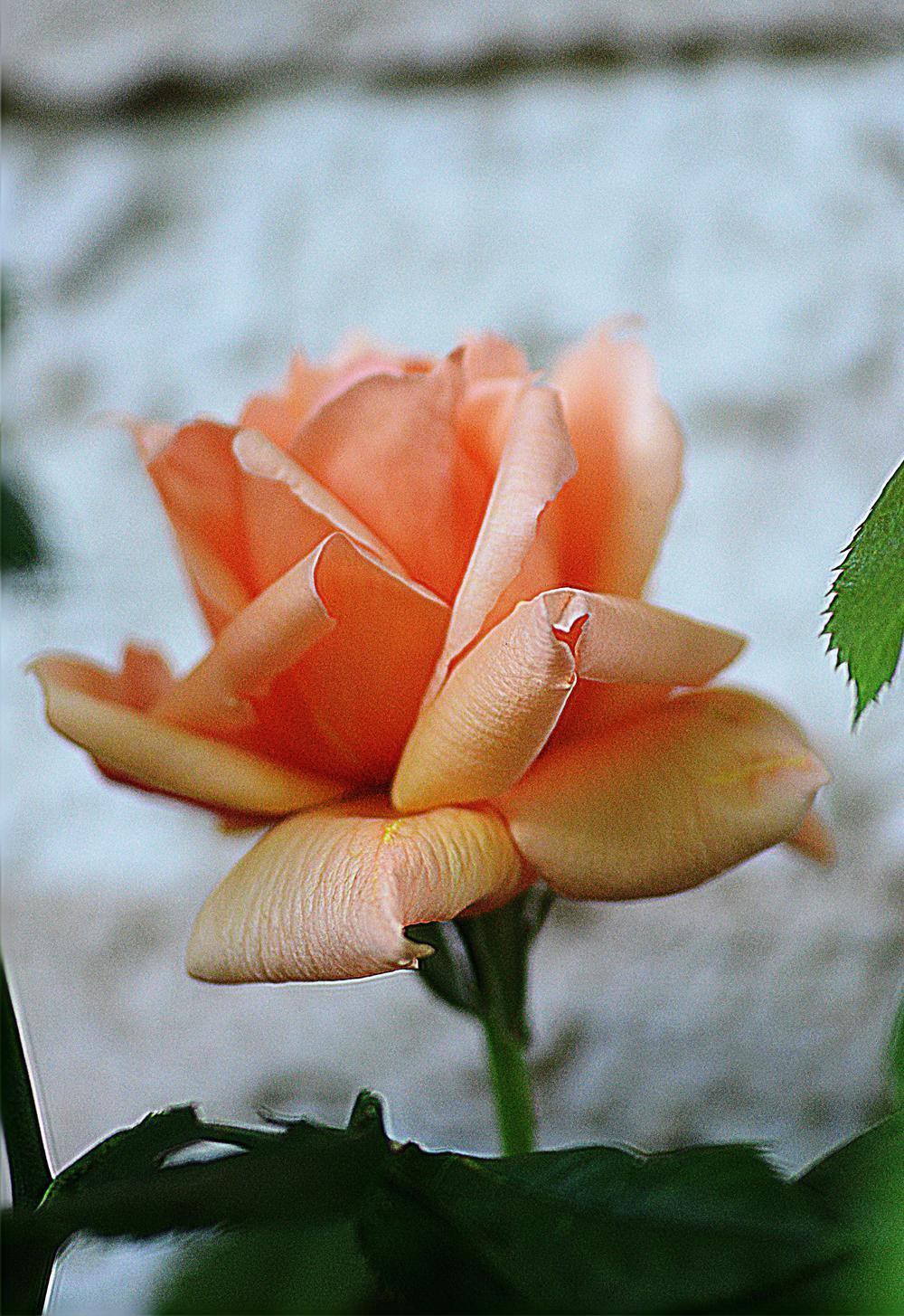 Photo of Rose (Rosa 'Apricot Candy') uploaded by marsrover