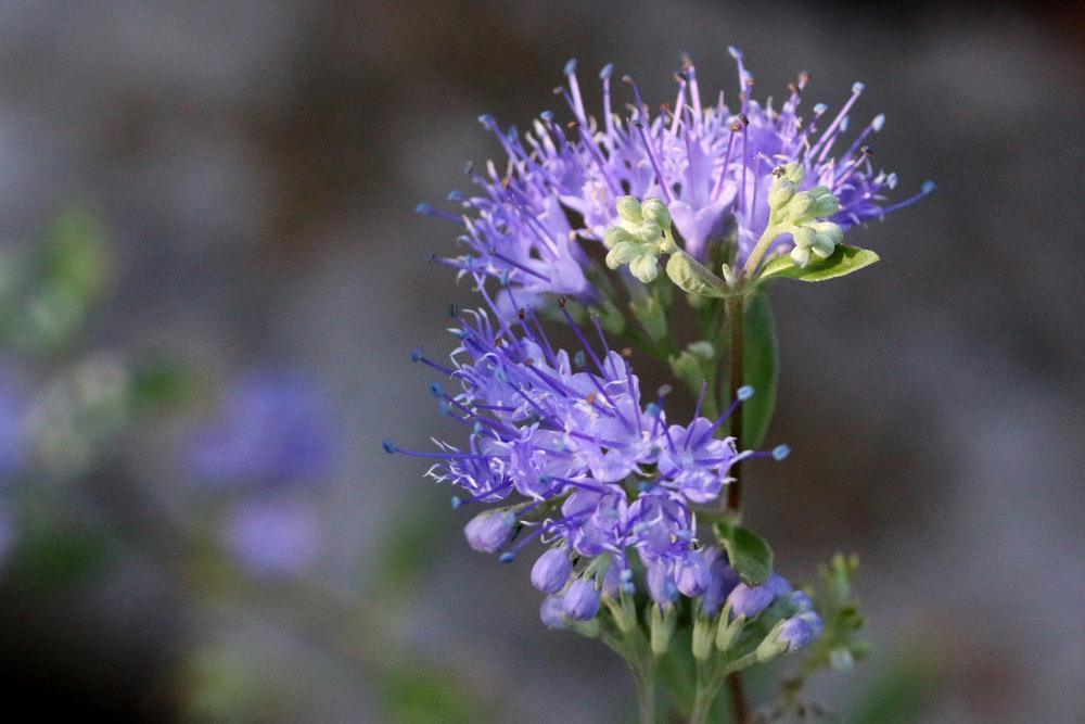 Photo of Bluebeards (Caryopteris) uploaded by GrammaChar