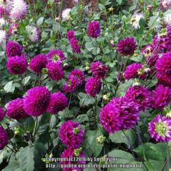 Photo of Dahlia (Dahlia 'Purple Flame')